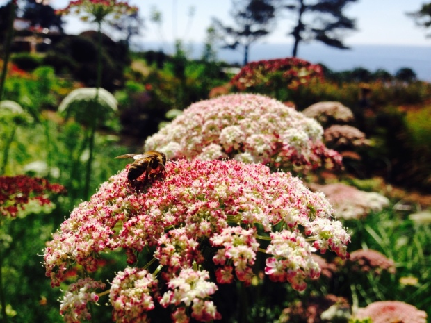 Queen Anne's lace and ocean.jpg